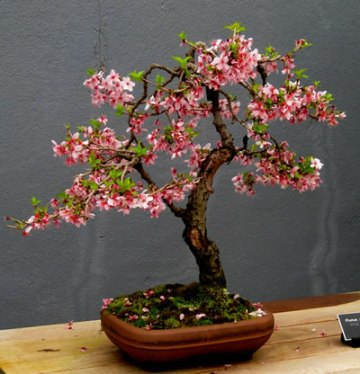 Bonsai pessegueiro